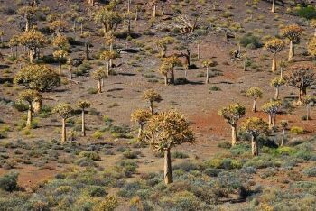 "Aloe ""forest"", north of Nieuwoudtville and south of Loeriesfontein, Upper Karoo & Hantam Karoo, Northern Cape"